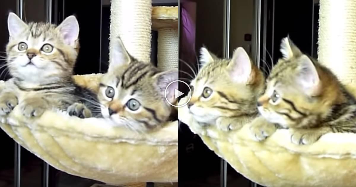 공놀이 구경하는 '쌍둥이 아기 고양이'의 사랑스러운 모습 (영상)